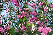 Flowers on Skiathos island, Greece