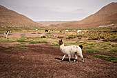 "Llamas graze on the high plateau ""Altiplano"", Atacama Desert, Antofagasta Region, Chile, South America"