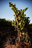 Wine vine in Santa Cruz, Colchagua Valley (wine growing area), Chile, South America