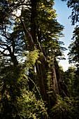 Flora in the Parque Nacional Huerquehue, Pucon, Región de la Araucanía, Chile, South America