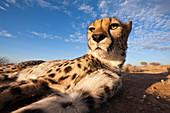 Male cheetah, Acinonyx jubatus, Kalahari Basin, Namibia
