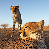 Male young cheetah, Acinonyx jubatus, Kalahari Basin, Namibia