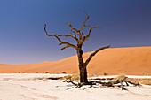 Dead acacia trees in Deadvlei, Namib Naukluft Park, Namibia