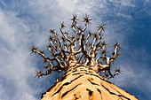 Crown of a quiver tree, Aloidendron dichotomum, Keetmanshoop, Namibia