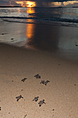 Hawksbill turtle hatchlings are released into the sea, Eretmochelys imbricata, New Ireland, Papua New Guinea