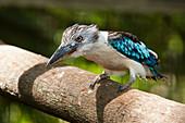 Blue-winged Kookaburra, Dacelo leachii, Papua New Guinea