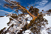 Gnarled snow eucalyptus in the Perisher ski area, NSW, Australia