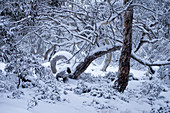 Snow-covered eucalyptus forest near Dinner Plain in the Alpine National Park, Victoria, Australia