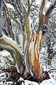 Snow eucalyptus in Alpine National Park, Victoria, Australia