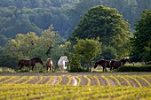 France, Doubs, Brognard, Tea, horses grazing behind a field but leaving earth
