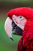 France, Maine et Loire, Zoo Bioparc of Doue La Fontaine, red-and-green macaw (Ara chloropterus)