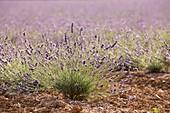 France, Alpes de Haute Provence, Natural Regional Park of the Verdon, Valensole Plateau, young lavender field