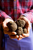 France, Vaucluse, Monteux, The Ventoux Truffle, weekend discovery and tasting, black winter truffle (tuber melanosporum)