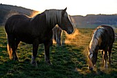 France, Doubs, Comtois horses in the meadow at sunset