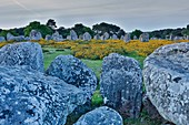 France, Morbihan, Gulf of Morbihan, Carnac, alignment of megaliths of Carnac, alignment of menhirs in the heather