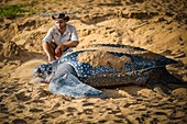 France, Guiana, Cayenne, Gosselin beach, return to the Atlantic Ocean of a female leatherback turtle (Dermochelys coriacea) after nesting in the early morning