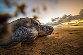 Französisch-Guayana, Cayenne, Strand von Rémire-Montjoly, nistende weibliche Lederschildkröte (Dermochelys coriacea) am Morgen