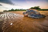France, Guiana, Cayenne, Rémire-Montjoly beach, return to the Atlantic Ocean of a female leatherback turtle (Dermochelys coriacea) after nesting in the early morning