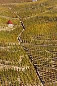 France, Rhone, Ampuis, Rhone valley, wine of Cote du Rhone, vineyards of Cote Rotie, Cote Brune