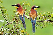 France, Jura, low valley of Doubs, European bee eater (Merops apiaster) couple nesting