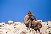 France, Alpes de Haute-Provence, national park of Mercantour, Haut-Verdon, male grown-up Ibex (Capra ibex) on the Montagne de l'Avalanche