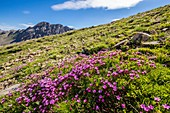 France, Alpes de Haute Provence, Mercantour National Park, Haute Hubaye, the silene acaule (silene acaulis) is a characteristic plant of the alpine spaces