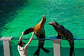 France, Ardeche, Peaugres, Safari de Peaugres, animal park, open doors day for children, around zoo jobs, aquatic space, otters show, Arctocephalus australis