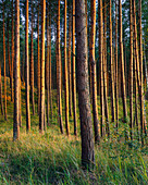Pine forest in the Widowo nature reserve, Pomerania, Baltic Sea, Poland