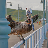 Vogel der Karibik, Antigua, Karibik, Mittelamerika