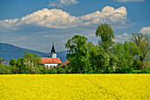 Church of Waltendorf with rapeseed field in the foreground, Danube bike path, Lower Bavaria, Bavaria, Germany