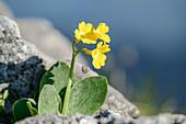 Aurikel blüht zwischen Felsen, Primula auricula, Kenzenkopf, Ammergauer Alpen, Schwaben, Bayern, Deutschland