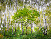 Birch forest at Trarego, Viggiona, Cannero, Piedmont, Italy