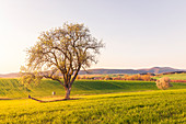 Evening sun over meadows and fields, Niefern, Grand Est, Alsace, France