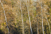 Birch trees in spring, Odenwald, Hesse, Germany