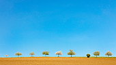 Row of trees on a field in spring, Odenwald, Hesse, Germany