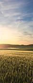 Getreidefeld im Abendlicht, Odenwald, Hessen, Deutschland
