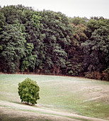 Small deciduous tree in the field, Hessen, Germany