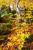 Autumn in the forest, autumnal leaves, Odenwald, Hessen, Germany