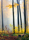 Autumnal fog in the forest, Herbstwald, Odenwald, Hessen, Germany