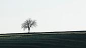 Einzelner Baum auf einem Feld, Odenwald, Hessen, Deutschland