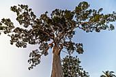 Yang Na Yai Tree - huge tree in the south of Koh Phangan. Thailand