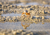 Crab reflected in the water at low tide in Buffalo Bay, Koh Phayam. Thailand