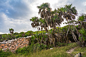 Palm trees in the grounds of the Mayan sites of Tulum, Quintana Roo, Yucatan Peninsula, Mexico