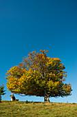 Autumn colored beech (Fagus sylvatica), near Schönau, Black Forest, Baden-Württemberg, Germany
