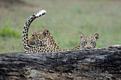 A mother leopard, Panthera pardus, and its cub stand behind a log, tail up, direct gaze