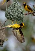 A village weaver bird, Ploceus cucullatus, hangs upside down on its nest, wings spread