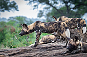A pack of wild dog, Lycaonpictus, stand a lie together