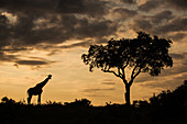 A silhouette of a giraffe, Giraffa camelopardalis giraffa, by a single tree against an orange sunset