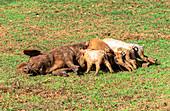 """Sow is suckling young animals in the Vinales Valley (""""Valle de Vinales""""), Pinar del Rio Province, Cuba"""