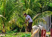 """Sugar cane cultivation at the """"Los Aquaticos"""" viewpoint in the Vinales Valley (""""Valle de Vinales""""), Pinar del Rio province, Cuba"""